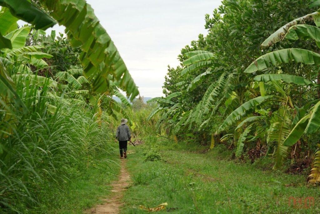 Cây chuôi trong canh tác vườn rừng sinh thái